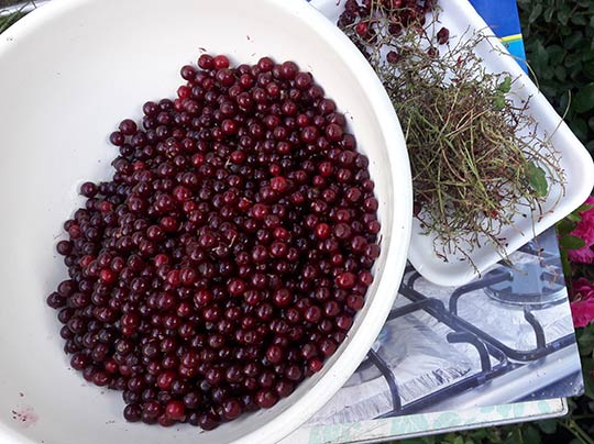 обрываем ягоды