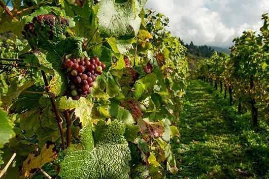 кусты винограда во сне