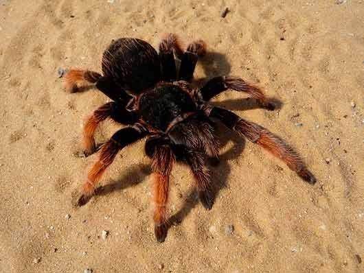 Большой паук во сне