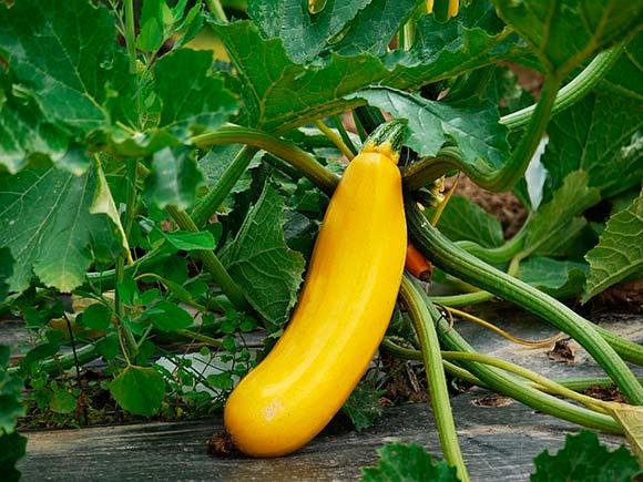 как выращивать кабачки