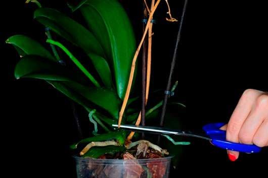 Орхидея уход после цветения