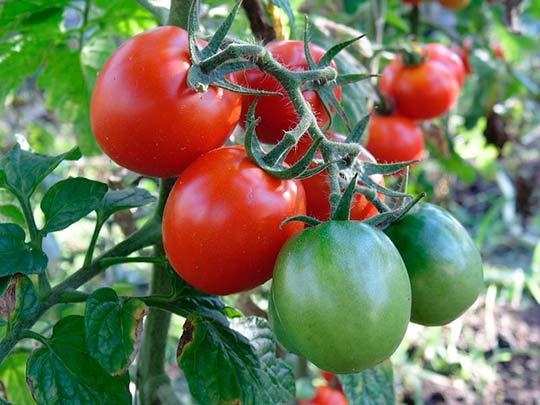 как подкармливать томаты