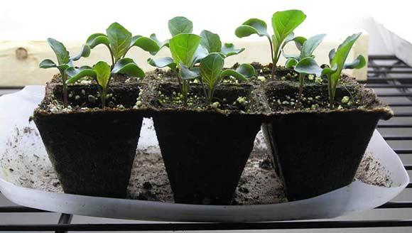 посев капусты без пикировки
