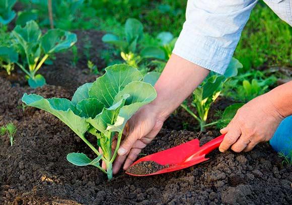 когда высаживать рассаду в открытый грунт