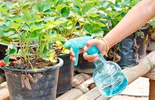 полив рассады клубники