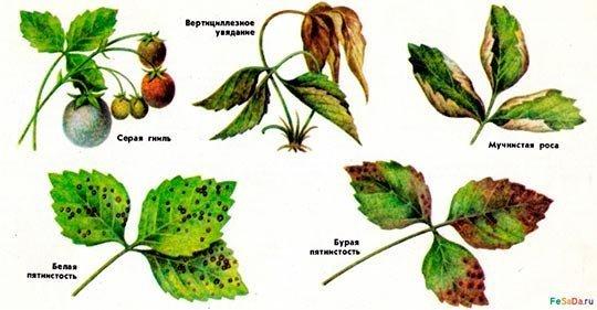 болезни клубники