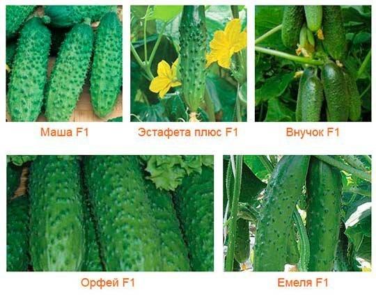 выбор семян огурцов