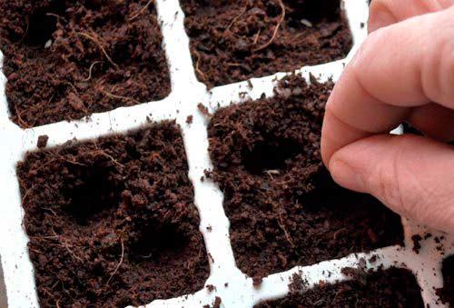 посев ранней капусты